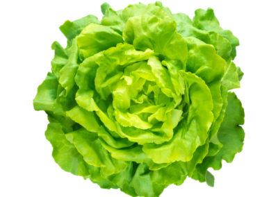 Trocadero lettuce